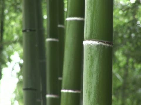 vídeos de stock e filmes b-roll de ntsc floresta de bambu close-up - bamboo plant