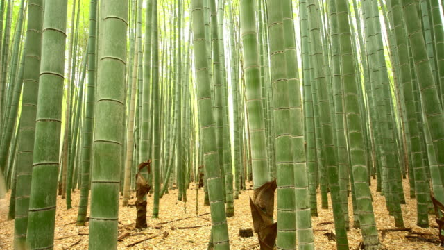 ms bamboo forest in japan - bamboo plant stock videos and b-roll footage
