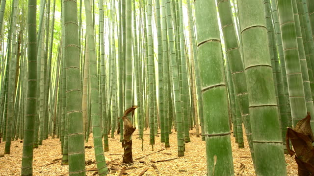 MS TU Bamboo forest in Japan