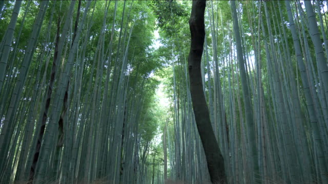 bamboo forest in kyoto - bamboo shoot stock videos & royalty-free footage