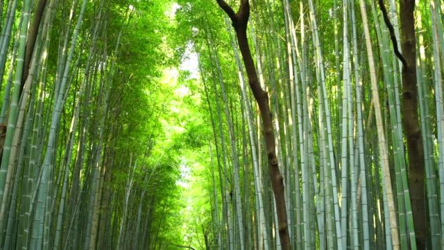 vídeos de stock e filmes b-roll de bamboo forest in kyoto - bambu material