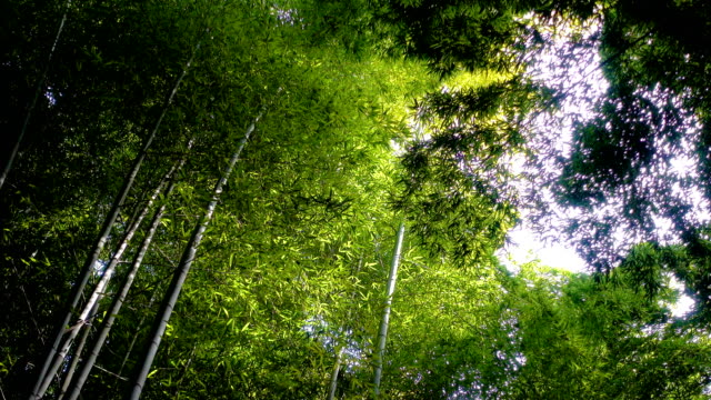 bamboo forest, japan. - bamboo plant stock videos and b-roll footage