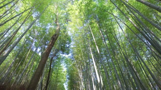 vídeos de stock, filmes e b-roll de floresta de bambu de kyoto - bamboo plant