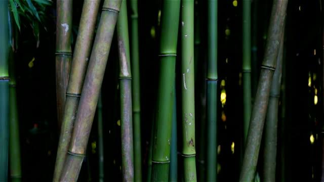 bambus-wald schwenken, maui, hawaii - bamboo plant stock-videos und b-roll-filmmaterial
