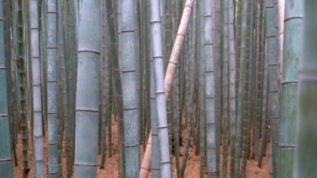 bamboo forest static view of the bamboo trunks - bamboo shoot stock videos & royalty-free footage