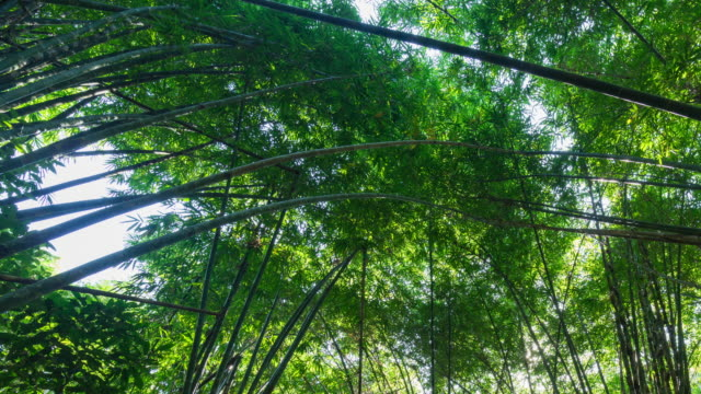bamboo forest, time lapse video - lucky bamboo stock videos and b-roll footage