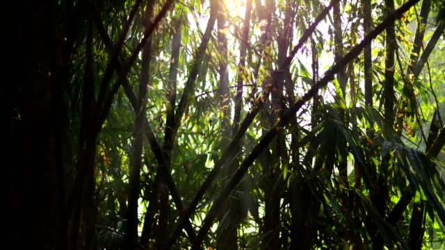 bamboo forest time lapse zoom in - bamboo plant stock videos & royalty-free footage