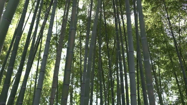 bamboo forest - ecosystem stock videos & royalty-free footage