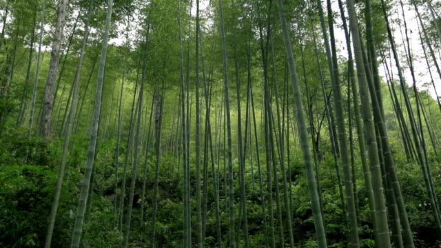 vídeos de stock e filmes b-roll de floresta de bambu - rebento de bambu