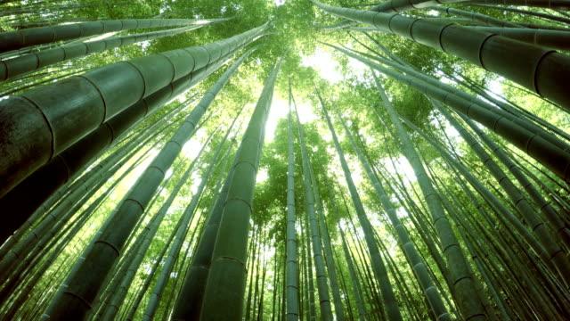 vídeos de stock e filmes b-roll de floresta de bambu - bamboo plant