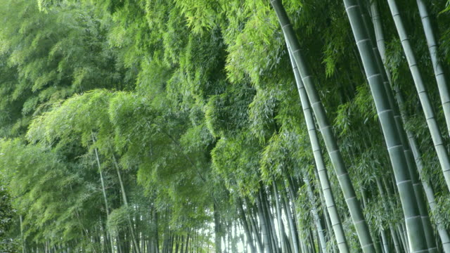 stockvideo's en b-roll-footage met bamboo forest - bamboo plant