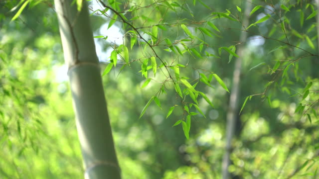 bamboo forest - bamboo plant stock videos and b-roll footage