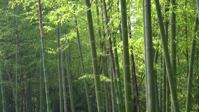 stockvideo's en b-roll-footage met bamboo forest - materiaal