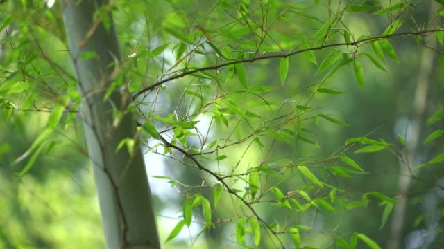 vídeos de stock, filmes e b-roll de floresta de bambu  - folha de bambu