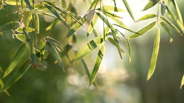 vídeos de stock e filmes b-roll de bamboo forest - rebento de bambu