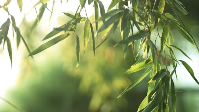 bamboo forest - bamboo plant stock videos & royalty-free footage