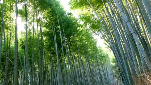 bamboo grove forest swaying with sunlight shine - bamboo plant stock videos and b-roll footage