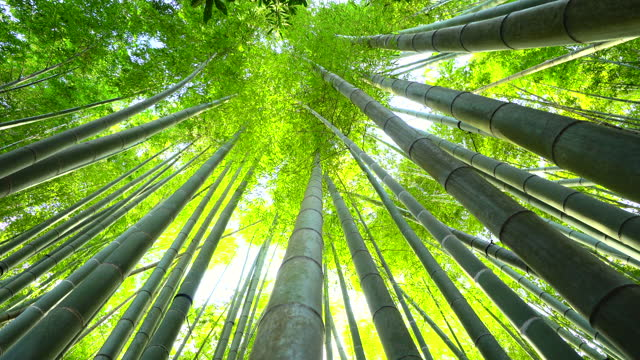 bamboo growth, look from below - tall high stock videos & royalty-free footage