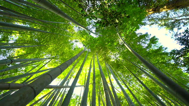 bamboo growth, look from below - bamboo plant stock videos & royalty-free footage