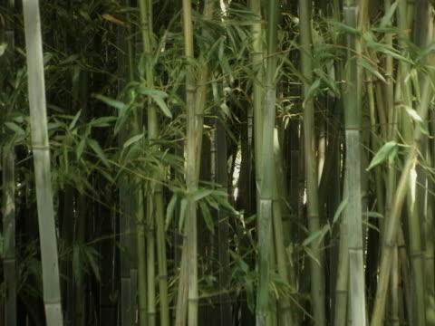 vídeos de stock e filmes b-roll de bambu a balançar ao vento - bambu material