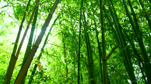 stockvideo's en b-roll-footage met bamboo in tsinandali palace - bamboo plant