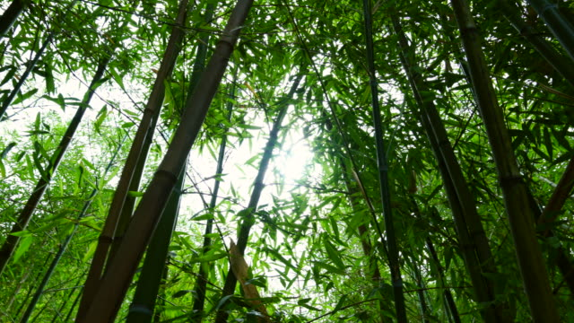 bamboo in tsinandali palace - 竹点の映像素材/bロール
