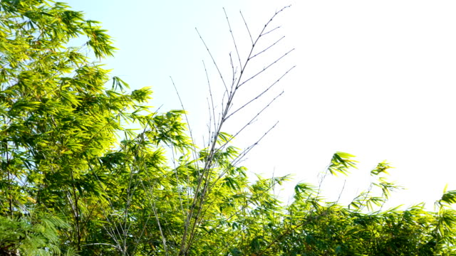 bamboo leaves against wind - lucky bamboo stock videos and b-roll footage