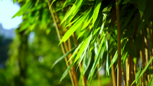 bamboo leaves and the breeze - bamboo plant stock videos & royalty-free footage