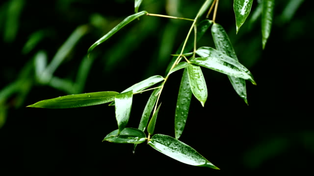 bamboo leaves in the rain - bamboo plant stock videos and b-roll footage