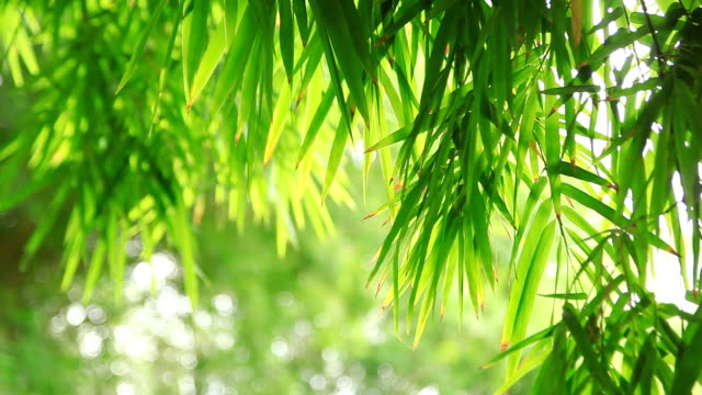bamboo leaves. - bamboo plant stock videos and b-roll footage