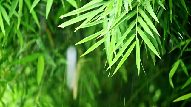 bamboo leaves with raining - dew stock videos & royalty-free footage