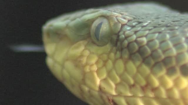 vídeos de stock, filmes e b-roll de víbora de bambu pit - parte do corpo animal