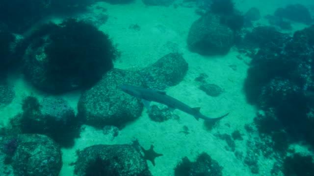 bamboo shark at undersea reef in galapagos - galapagos shark stock videos & royalty-free footage