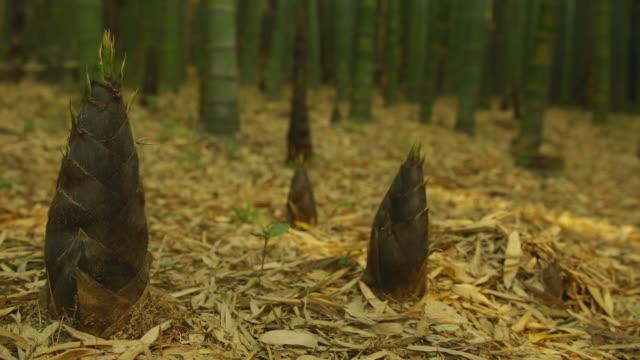 vidéos et rushes de bamboo shoot in bamboo forest / gijang-gun, busan, south korea - bamboo plant