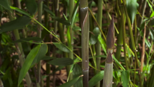 stockvideo's en b-roll-footage met tl bamboo shoots emerge from forest floor, uk - bamboo plant