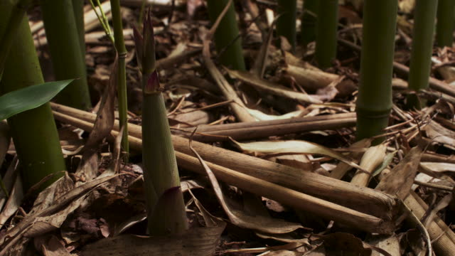 tl bamboo shoots emerge from forest floor, uk - botany stock videos & royalty-free footage