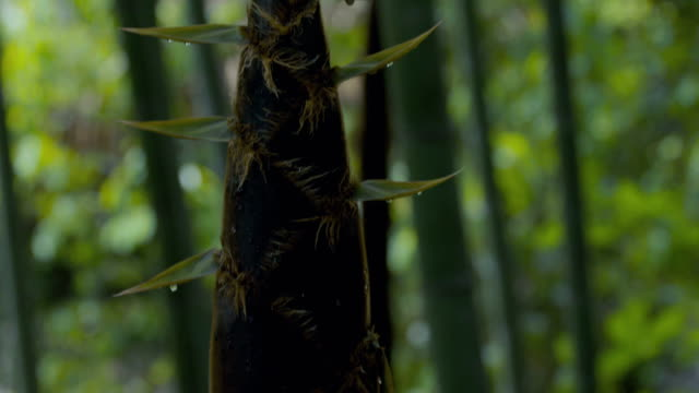 bamboo shoots - bamboo shoot stock videos & royalty-free footage