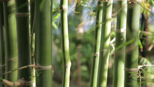bamboo stalks and bamboo leaves - bamboo plant stock videos and b-roll footage