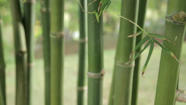 bamboo stalks - bamboo plant点の映像素材/bロール