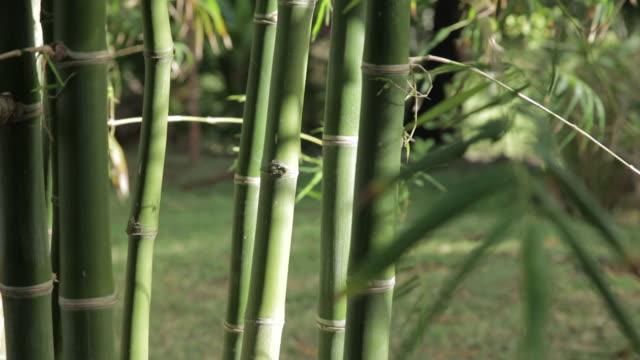 bamboo stalks - isola di kauai video stock e b–roll