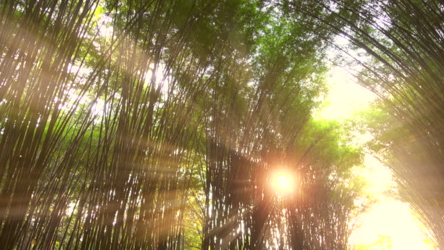 bamboo tunnel and sunset light ray dust - grove stock videos & royalty-free footage