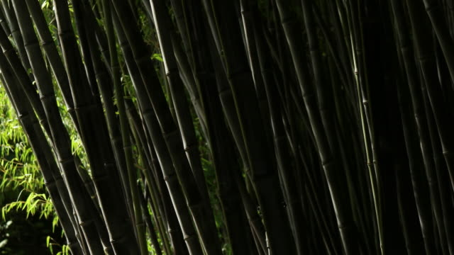 bamboo - bamboo plant stock videos & royalty-free footage
