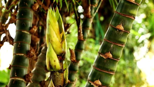 vidéos et rushes de en bambou - bamboo plant