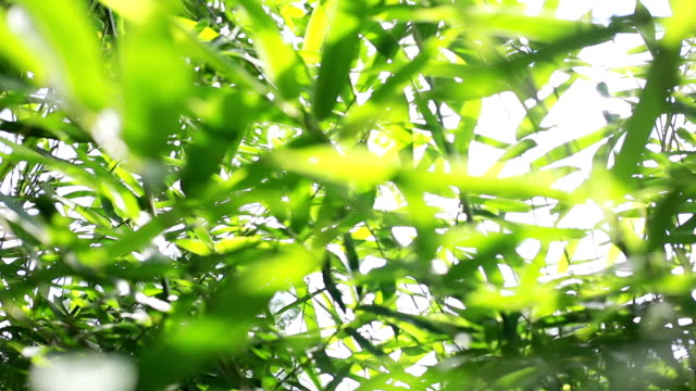 bamboo - bamboo plant stock videos and b-roll footage