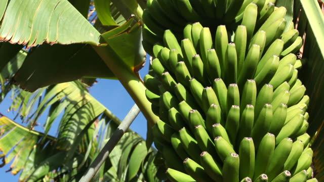 vidéos et rushes de tas de bananes - banane fruit exotique