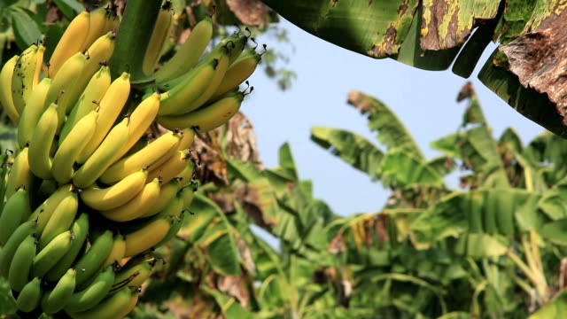 banana bunch - tropical fruit stock videos & royalty-free footage