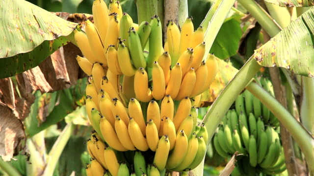 banana bunch - banana stock videos & royalty-free footage