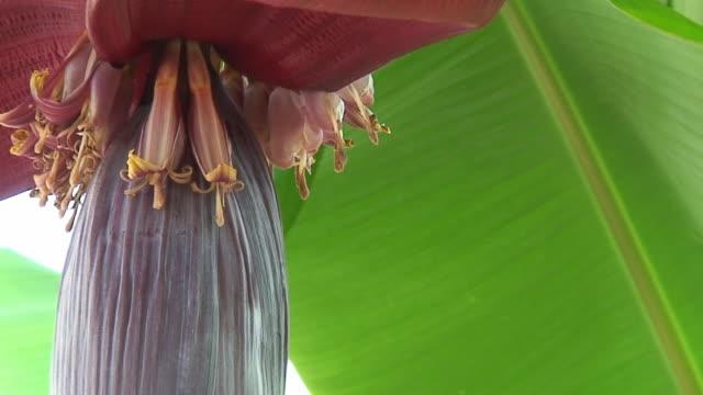 vídeos de stock, filmes e b-roll de flores de banana - banana de são tomé