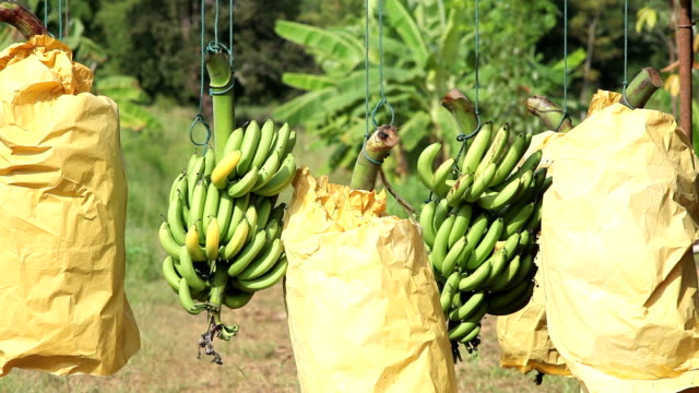 banana for export - banana stock videos & royalty-free footage