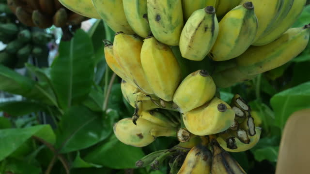 banana on tree - banana stock videos & royalty-free footage
